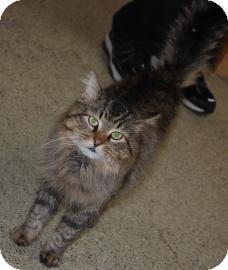 Domestic Longhair Cat for adoption in Oak Park, Illinois - Rufus