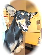 Manchester Terrier Mix Dog for adoption in calimesa, California - manny
