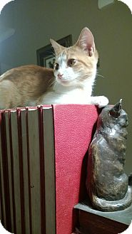 Domestic Shorthair Cat for adoption in Marietta, Georgia - Flint
