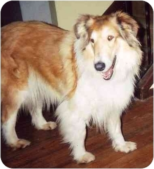 Collie Mix Dog for adoption in Westfield, New York - Shelby