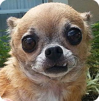 Chihuahua Dog for adoption in Orlando, Florida - Gia