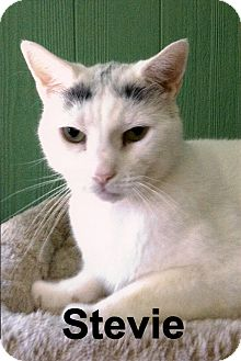 Domestic Shorthair Cat for adoption in Medway, Massachusetts - Stevie