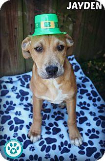 Labrador Retriever Mix Puppy for adoption in Kimberton, Pennsylvania - Jayden