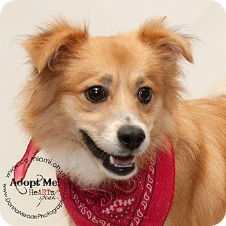 Pomeranian Mix Dog for adoption in Troy, Ohio - Jeffrey- Adopted