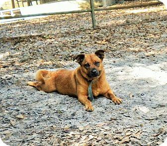 Retriever (Unknown Type)/Hound (Unknown Type) Mix Dog for adoption in Umatilla, Florida - Chassie