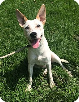 Australian Cattle Dog Mix Dog for adoption in Germantown, Tennessee - Bazooka