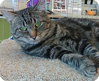 Domestic Shorthair Cat for adoption in Hillside, Illinois - Scooter-WALKED IN DOGGIE DOOR
