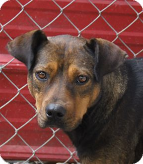 Rottweiler Mix Dog for adoption in Henderson, North Carolina - Rusty*