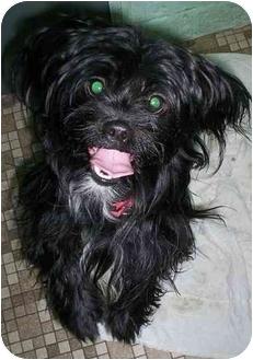 Lhasa Apso Mix Dog for adoption in Honesdale, Pennsylvania - Choo Choo