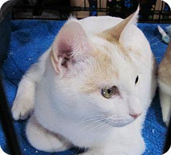 Domestic Shorthair Cat for adoption in Lansing, Kansas - Slick