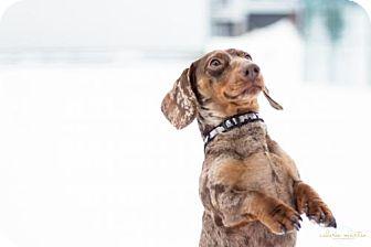 Dachshund Dog for adoption in Toronto, Ontario - Ballast