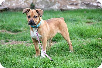 Labrador Retriever Mix Puppy for adoption in New Oxford, Pennsylvania - Connie