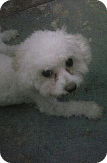 Maltese/Poodle (Miniature) Mix Dog for adoption in Inverness, Florida - Munchkin
