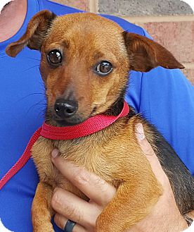 Dachshund/Chihuahua Mix Dog for adoption in Mount Pleasant, South Carolina - Spinner