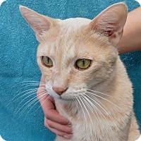 Adopt A Pet :: Couga - Davis, CA