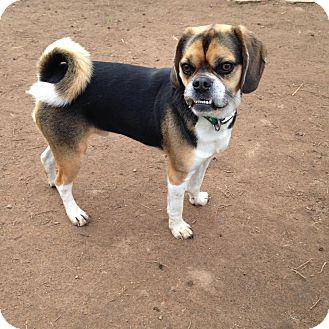 Pug/Beagle Mix Dog for adoption in Cranford, New Jersey - Sligo