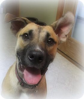 Shepherd (Unknown Type) Mix Dog for adoption in Coldwater, Michigan - Gunner - IN TRAINING