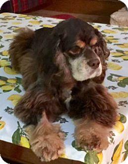 Cocker Spaniel Dog for adoption in Sugarland, Texas - Huntley