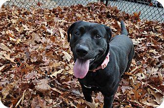 Labrador Retriever Mix Dog for adoption in Middlebury, Connecticut - Sugar