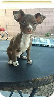 Chihuahua Mix Puppy for adoption in Las Vegas, Nevada - DJ bonded with Kirby