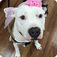 Staffordshire Bull Terrier Dog for adoption in Garland, Texas - Baby