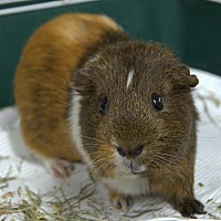 Guinea Pig for adoption in Boston, Massachusetts - SEYMOUR
