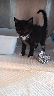 Domestic Shorthair Kitten for adoption in Loxahatchee, Florida - Fifi