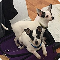 Adopt A Pet :: Presley/Wyatt - Fairview Heights, IL