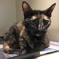 Domestic Shorthair/Domestic Shorthair Mix Cat for adoption in Luling, Louisiana - Tita