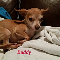 Chihuahua Mix Dog for adoption in Jersey City, New Jersey - Daddy Dee