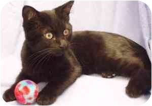 Domestic Shorthair Cat for adoption in Walker, Michigan - Hoyt