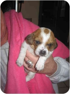 Beagle Puppy for adoption in Buffalo, New York - Andi