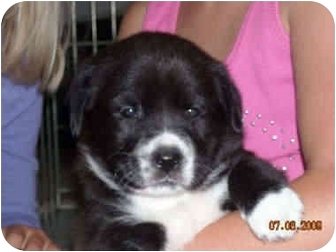 Labrador Retriever Mix Puppy for adoption in Evergreen, Colorado - Regan