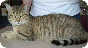Domestic Shorthair Cat for adoption in North Judson, Indiana - Romeo