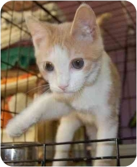 Domestic Shorthair Cat for adoption in Chesapeake, Virginia - Dodger
