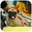 Photo 2 - Pug/Beagle Mix Dog for adoption in Vandalia, Illinois - Tia