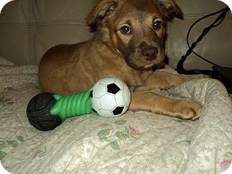 Boxer Mix Puppy for adoption in Pickerington, Ohio - Georgia