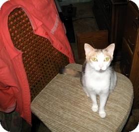 Calico Cat for adoption in Bentonville, Arkansas - Spice