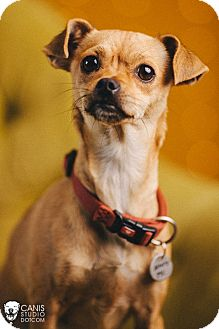 Chihuahua/Pug Mix Dog for adoption in Portland, Oregon - Gouda