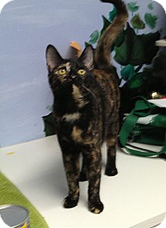 Domestic Shorthair Kitten for adoption in Patterson, New York - Pretty Girl