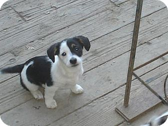 Jack Russell Terrier/Corgi Mix Puppy for adoption in Atascadero, California - Panda