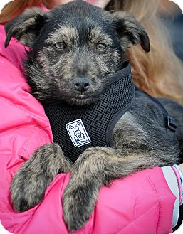Terrier (Unknown Type, Medium) Mix Puppy for adoption in Mt. Prospect, Illinois - Harrison