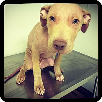 American Pit Bull Terrier Mix Dog for adoption in Parker, Colorado - Rosie