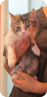 Domestic Mediumhair Kitten for adoption in Westminster, California - Sissy