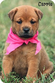 Shar Pei Puppy for adoption in Cranford, New Jersey - Carrie