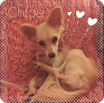 Chihuahua Mix Dog for adoption in Phoenix, Arizona - Chloe