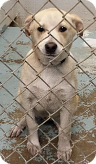 Labrador Retriever Mix Dog for adoption in Sumter, South Carolina - COLIN