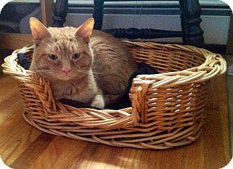 Domestic Shorthair Cat for adoption in Walden, New York - Morris