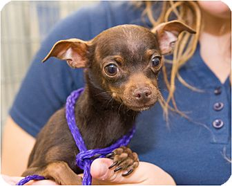 Chihuahua Mix Dog for adoption in Fruit Heights, Utah - Daemon