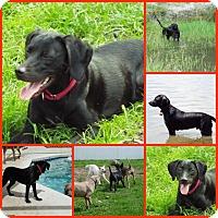 Adopt A Pet :: STONE - Inverness, FL